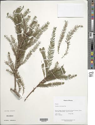 Taxodium mucronatum Ten.