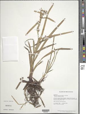 Diplacrum guianense (Nees) T. Koyama