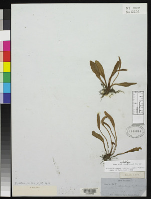Elaphoglossum hieracioides Mickel