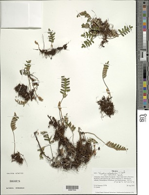 Pleopeltis polypodioides var. acicularis (Weath.) E.G. Andrews & Windham