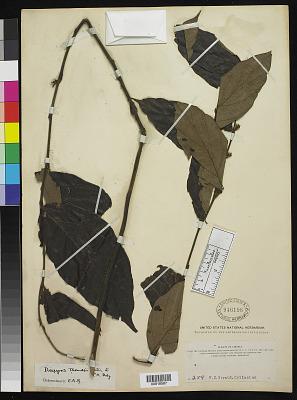 Diospyros thomasii Hutch. & Dalziel