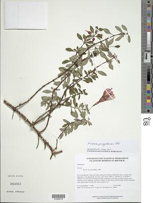 Fuchsia triphylla L.