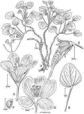 Oxalis simplicifolia Lorence & W.L. Wagner