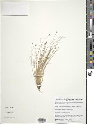 Eleocharis geniculata (L.) Roem. & Schult.