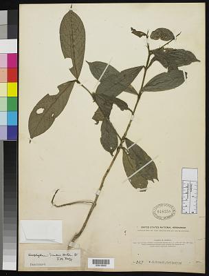 Urophyllum linderi Hutch. & Dalziel