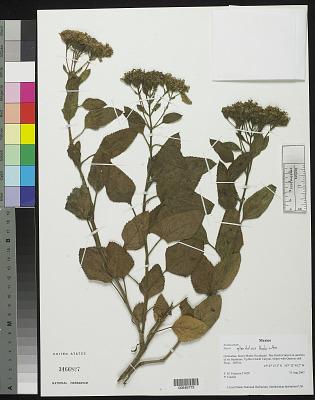 Stevia glandulosa var. glandulosa Hook. & Arn.