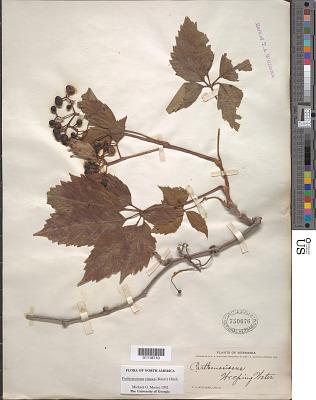 Parthenocissus vitacea (Knerr) Hitchc.