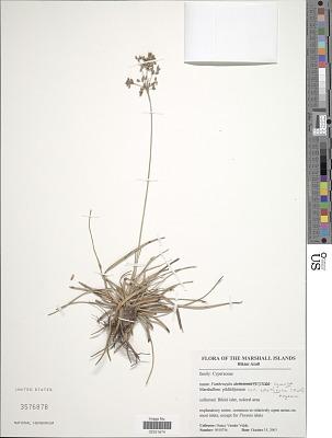 Fimbristylis cymosa R. Br.