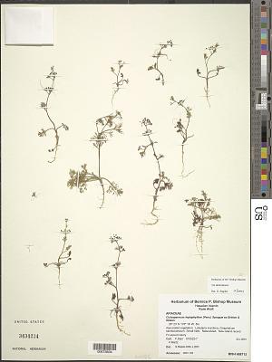 Ciclospermum leptophyllum