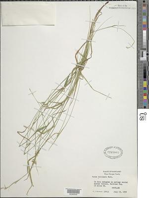 Carex collinsii Nutt.