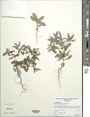 Flaveria trinervia (Spreng.) C. Mohr