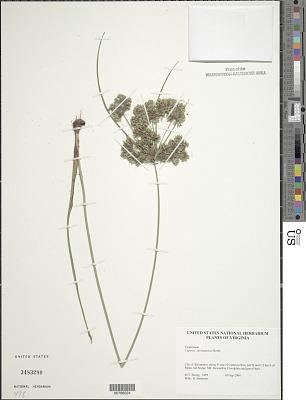 Cyperus surinamensis Rottb.