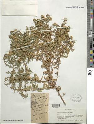 Symphyotrichum oblongifolium (Nutt.) G.L. Nesom