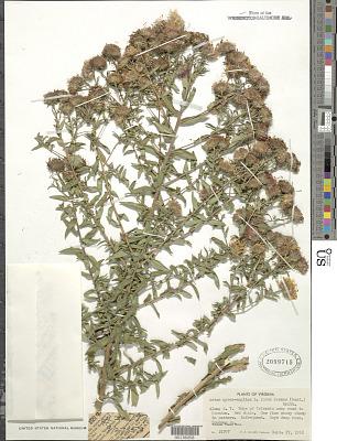 Symphyotrichum novae-angliae (L.) G.L. Nesom