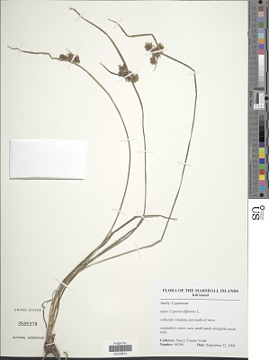 Cyperus difformis sensu Blanco non L.