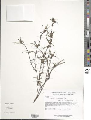 Mitracarpus decumbens Urb.