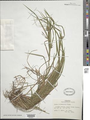 Carex intumescens Rudge