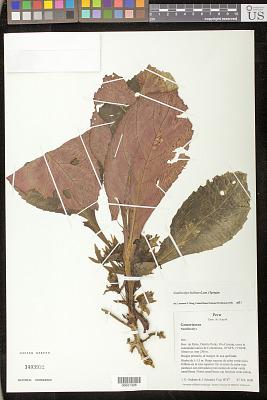 Nautilocalyx bullatus (Lem.) Sprague