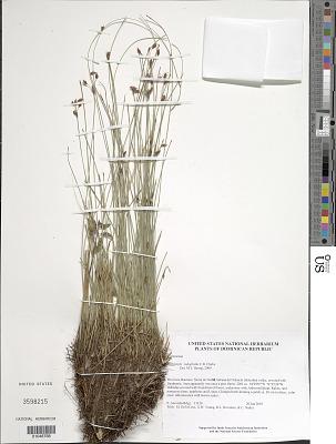 Bulbostylis subaphylla C.B. Clarke