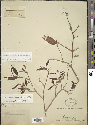 Eugenia montevidensis