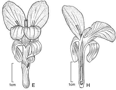 Distichochlamys rubrostriata W.J. Kress & Rehse