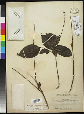 Memecylon donianum Planch.