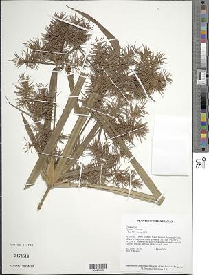 Cyperus odoratus L.