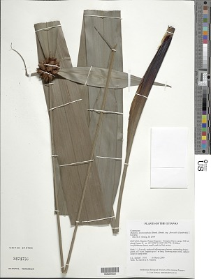 Mapania pycnocephala subsp. fluviatilis (Sandwith) T. Koyama