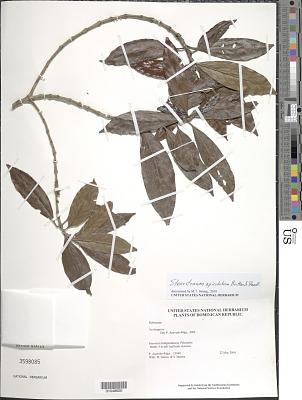 Stenostomum apiculatum Britton & Standl.