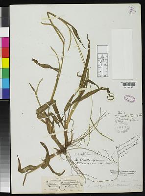 Paspalum ciliatifolium var. brevifolium Vasey