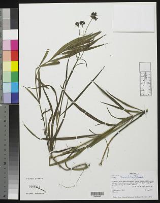Cosmos linearifolius (Sch. Bip.) Hemsl.