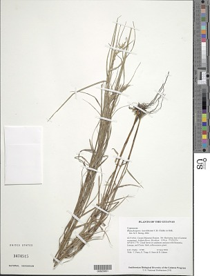 Rhynchospora tuerckheimii C.B. Clarke ex Kük.