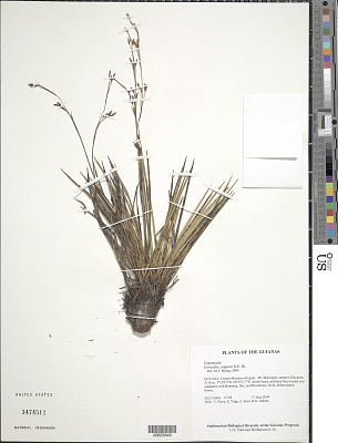 Everardia angusta N.E. Br.