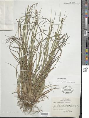 Carex hirsutella Mack.