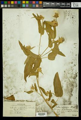 Croton lindheimeri (Engelm. & A. Gray) Engelm. & A. Gray ex Alph. Wood