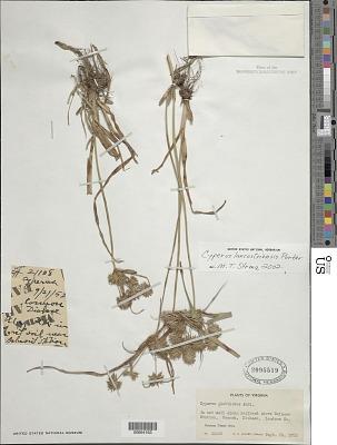 Cyperus lancastriensis Porter