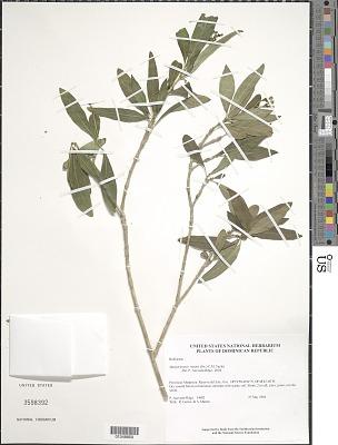 Margaritopsis nutans (Sw.) C.M. Taylor