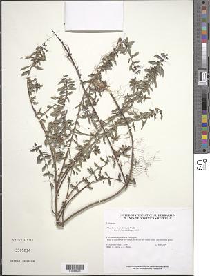 Pilea lanceolata (Savigny) Wedd.