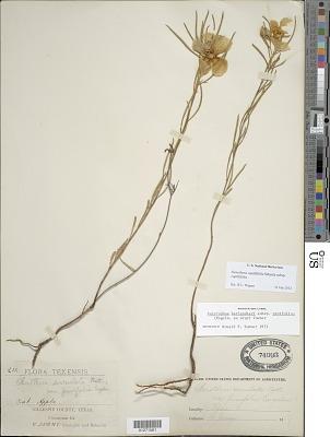 Oenothera capillifolia Scheele subsp. capillifolia