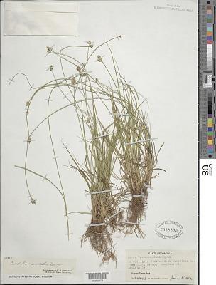 Carex leavenworthii Dewey