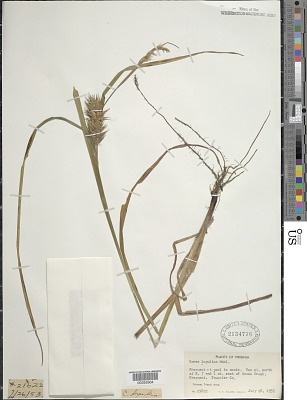 Carex lupulina Muhl. ex Willd.