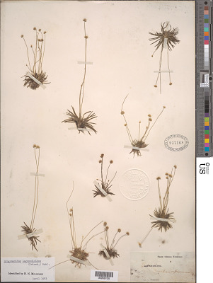Syngonanthus lagopodioides (Griseb.) Ruhland