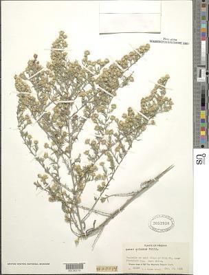 Symphyotrichum pilosum (Willd.) G.L. Nesom