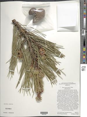 Pinus muricata D. Don