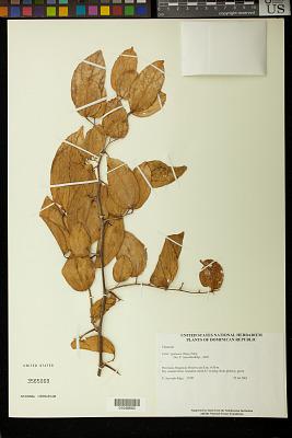 Celtis iguanaea (Jacq.) Sarg.