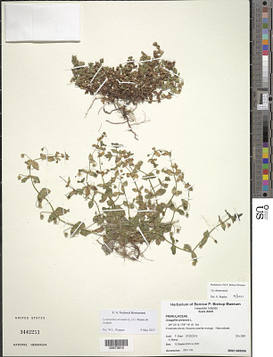 Lysimachia arvensis (L.) U. Manns & Anderb.