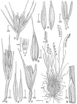 Muhlenbergia tarahumara P.M. Peterson & Columbus