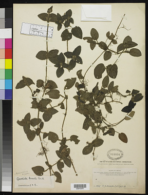 Hymenocoleus hirsutus Benth.