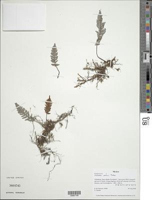 Myriopteris wootonii (Maxon) Grusz & Windham