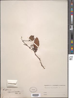 Cissus muricata Dalzell & A. Gibson